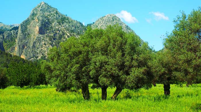 оливковое дерево, оливки