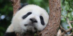 В Китае родился первый в этом году детёныш панды