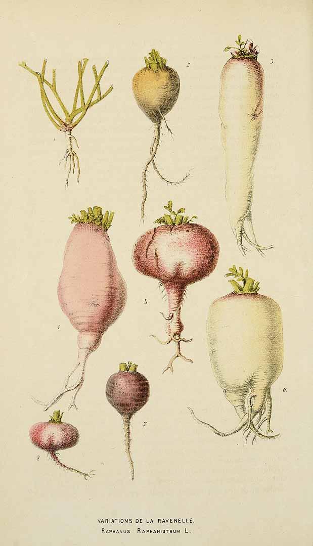 Редис бывают самых разных форм и цветов, иллюстрация 1869 г. Фото: Public Domain