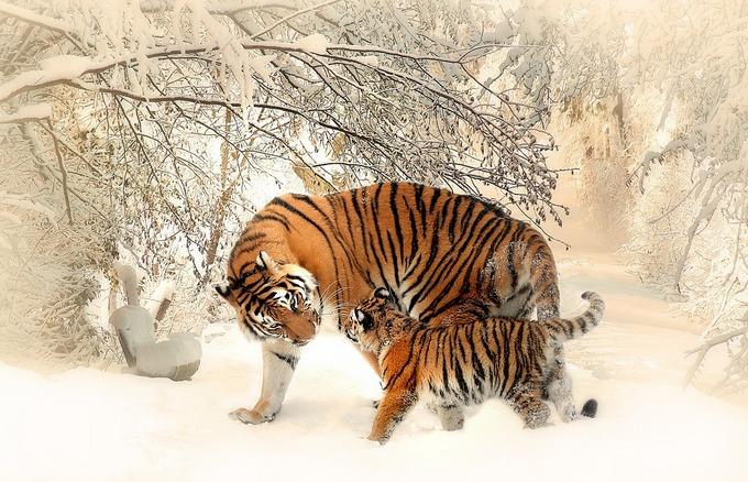 Амурская тигрица с тигрёнком. Фото: pixabay.com/CC0 Public Domain