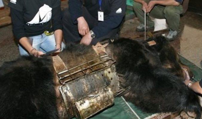 Медведица, у которой годами выкачивали желчь в Китае, обрела новую жизнь
