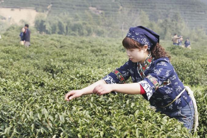 Работница-мигрантка собирает чай в окрестностях Ханчжоу, провинция Чжэцзян, 22 марта 2007 г. Фото: China Photos/Getty Images