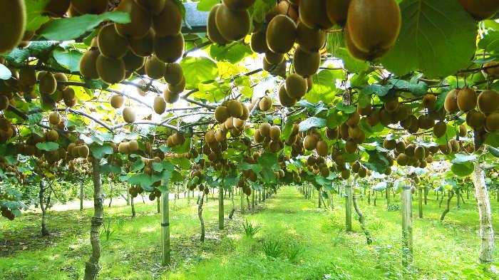 плантация киви, киви, фрукт
