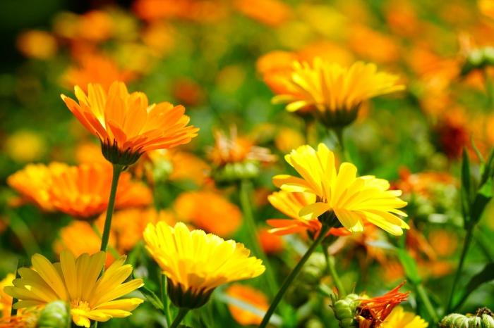 Календула — лучшее средство от порезов и ссадин
