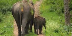 В Европе могут появиться дикие слоны