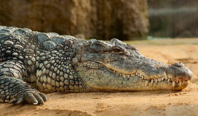 В Уганде поймали крокодила-людоеда более тонны весом