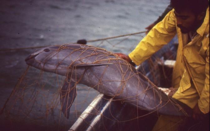 Мёртвая вакита в жаберной сети в Эль-Гольфо-де-Санта-Клара, штат Сонора, Мексика, февраль 1992 г. Фото: Christian Faesi, Copyright Омар Vidal