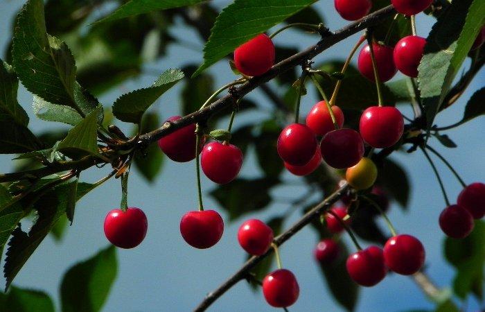 Польза вишни: почему вишню считают ягодой молодости
