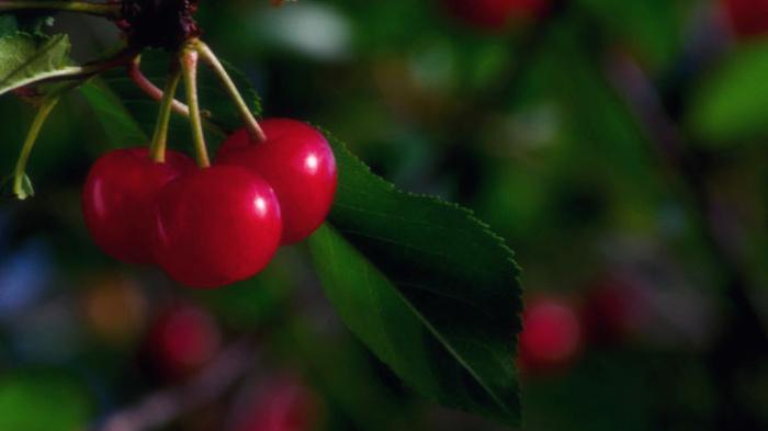 Учёные обнаружили новые полезные свойства вишни