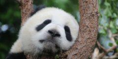 Программа по защите китайских панд позволит сохранить другие виды животных