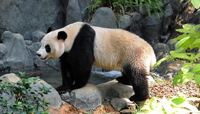 Старейшая в мире панда Цзя Цзя отметила 38-летнюю годовщину (видео)