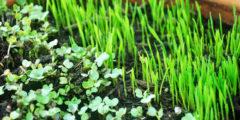 Микрозелень в 2 раза питательнее, чем обычные овощи