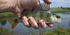 Как правильно поселить рыбу в водоём?