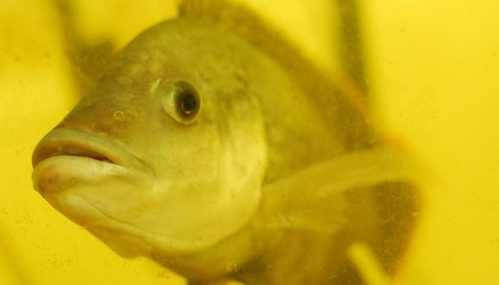 Россия ограничит импорт самой токсичной рыбы из Китая — тиляпии