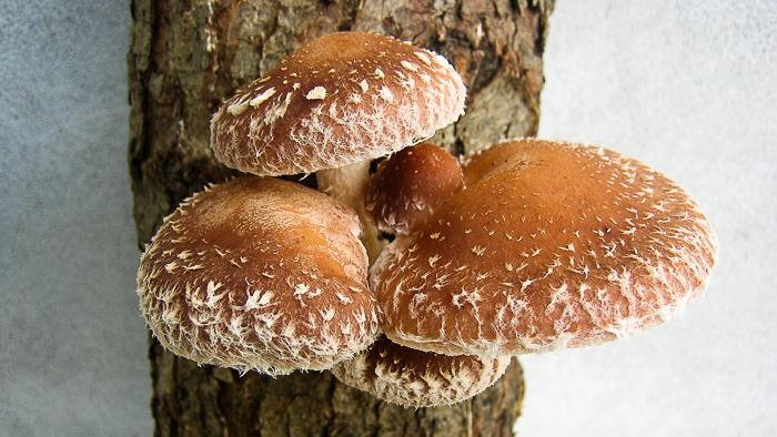 Почему грибы шиитаке полезны для вас