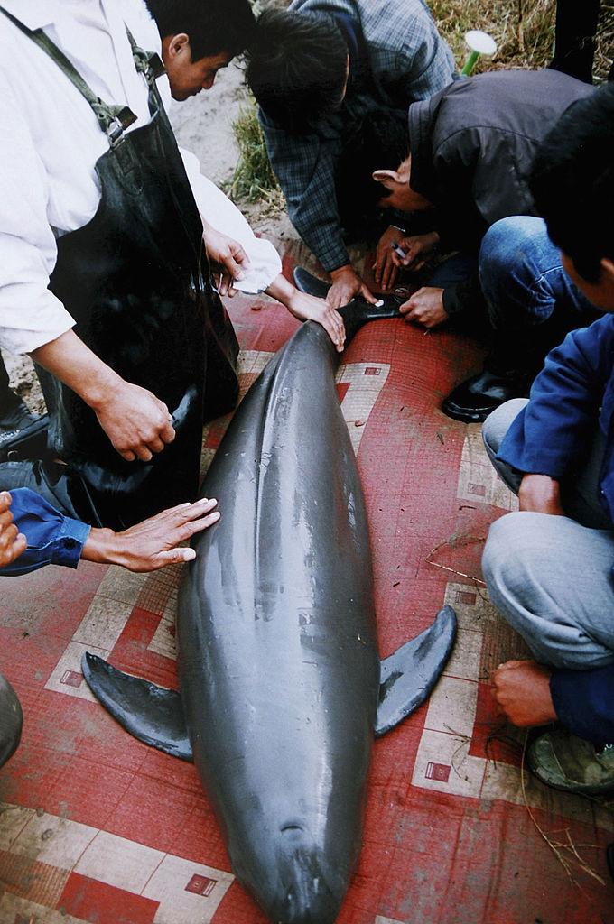 Учёные изучают китайского дельфина. Фото: China Photos/Getty Images