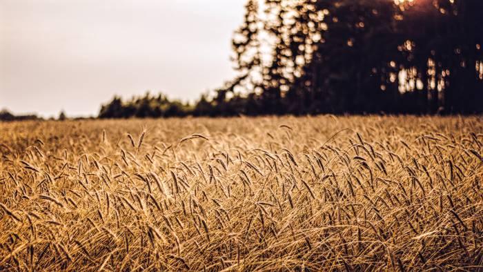 пшеничное поле, пшеница