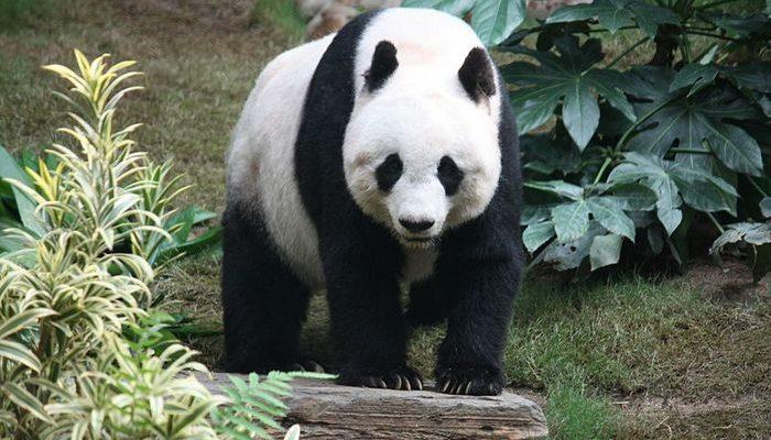 Спасатели в Китае 3 часа вызволяли гигантскую панду из реки