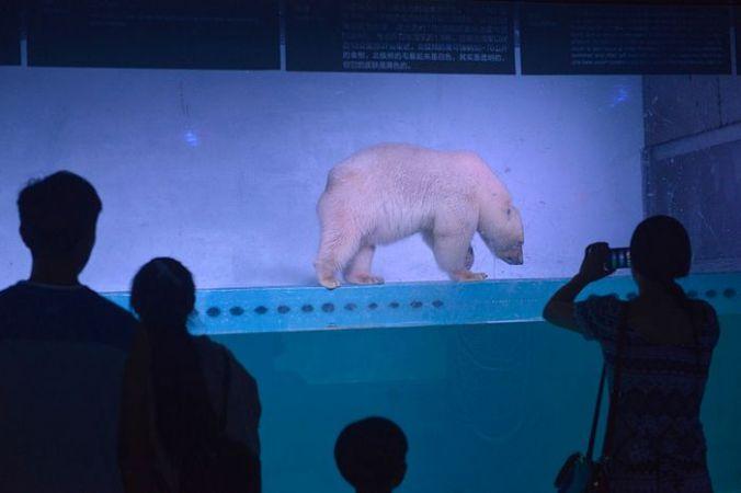 белый медведь, Китай