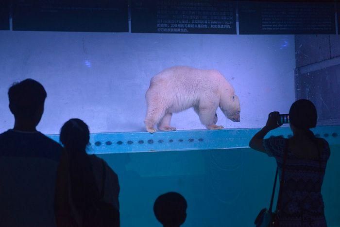 Белый медведь в китайском торговом центре. Фото: AFP/Getty Images