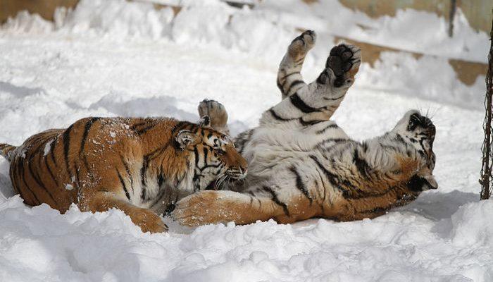 В Китае создадут Национальный парк тигра и леопарда