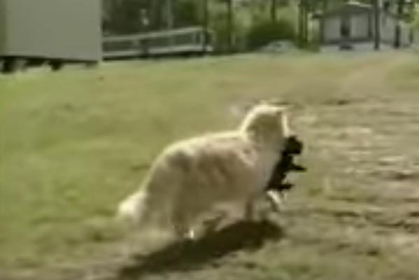 Кошка забрала щенков у собаки и не подпускала к ним даже хозяйку! Почему?