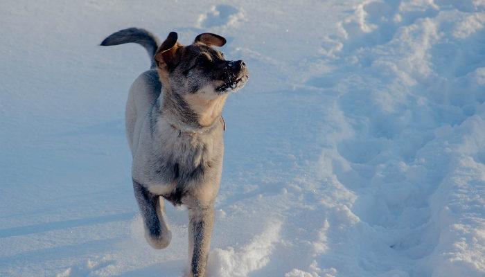 Трёхлапый пёс сбежал из приюта и прошёл 30 км, чтобы вернуться домой