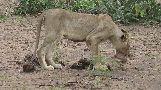 Туристы заметили, как львица тащит в пасти нечто странное. Их ожидало редкостное зрелище