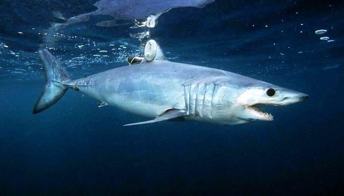 Рыбак голыми руками схватился с акулой за свой улов