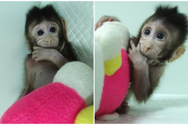 Мировое сообщество осуждает клонирование обезьян в Китае
