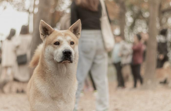 11 лет верный пёс охранял могилу хозяина, пока сам не умер. История Хатико повторяется