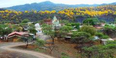Заповедный лес становится золотым всего на одну неделю в году. Полюбуйтесь цветением табебуйи! (видео)