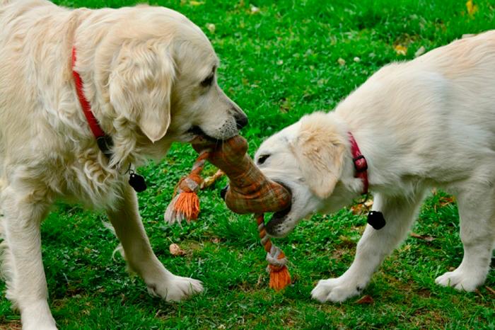 собаки играют с искусственной костью на зеленом лугу