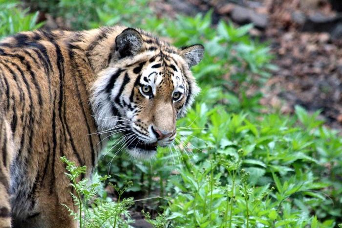 тигр гуляет в лесу
