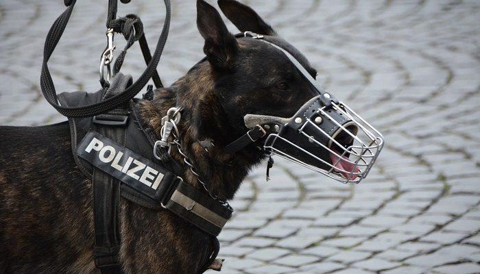 Полицейские Испании лечат собак-ищеек музыкой Моцарта. И собакам нравится!