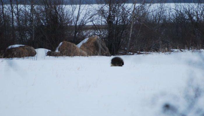 Женщина заметила копошение в снегу. Пришлось помогать дикобразу преодолевать сугробы!