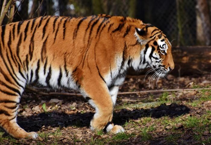 тигр медленно идет по лесу