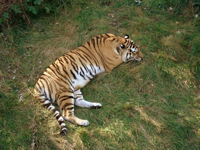 тигр спин на траве