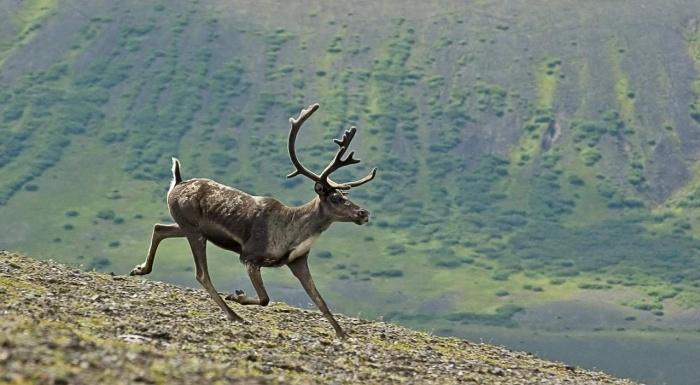 бегущий олень в горах