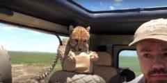 (Видео) Любопытные гепарды решили прокатиться на джипе. Водитель боялся пошевелиться