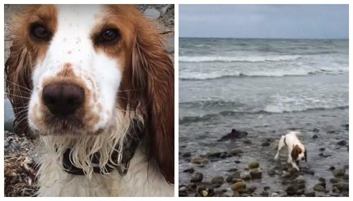(Видео) Собака призывала хозяина громким лаем. Оказалось, она нашла дельфинёнка, которому требовалась помощь