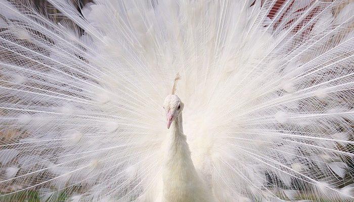 Белый павлин в поисках пары сбежал от хозяйки. Страдания птицы терзают души и слух жителей окрестных деревень