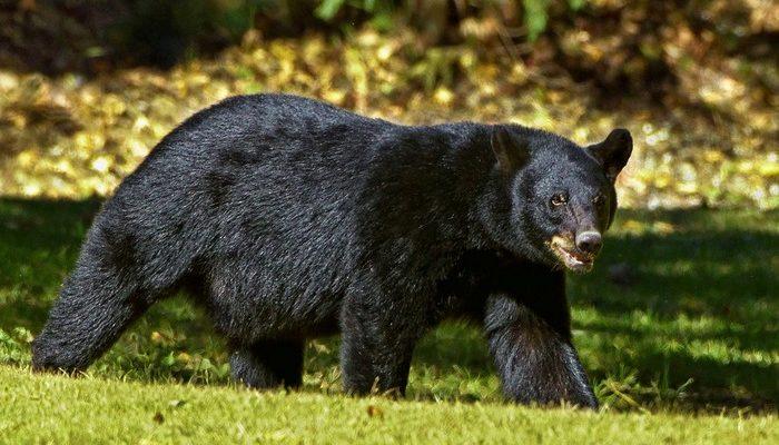Медведь напал на любимого пса фермера. Пришлось дать хищнику в нос