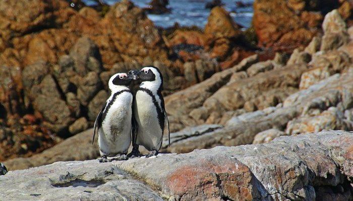(Видео) Влюблённые пингвины покорили Твиттер. Романтика в каждом движении!