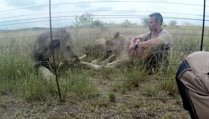 Человек, известный как «заклинатель львов», помог вылечить зубы диким хищникам