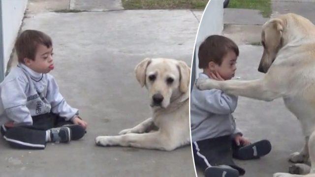 Собака пытается подружиться с 3-летним мальчиком с синдромом Дауна. Терпение и нежность животного восхищают! Посмотрите!