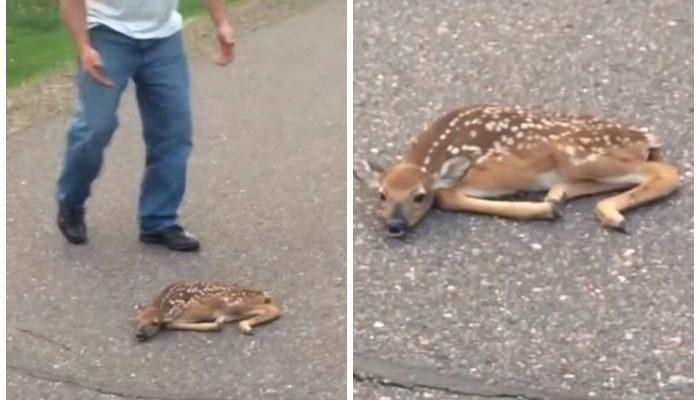 (Видео) Водитель остановился, чтобы убрать с дороги сбитого оленёнка, но малыш оказался жив
