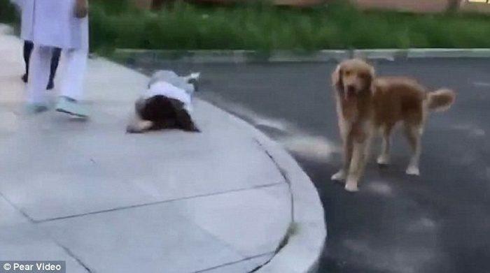 (Видео) Женщина гуляла с собакой и упала в обморок. Верный пёс охранял хозяйку до приезда врачей и сопровождал в больницу