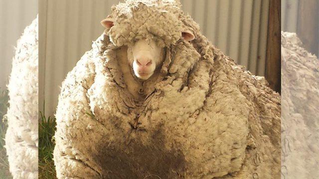 (Фото) Около 40 кг шерсти состригли с одичавшего барана. Это новый мировой рекорд!