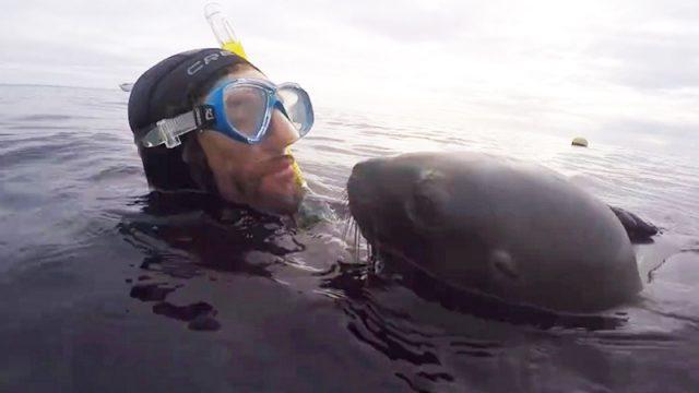 (Видео) Ласковый морской лев поцеловал дайвера. Это так мило!